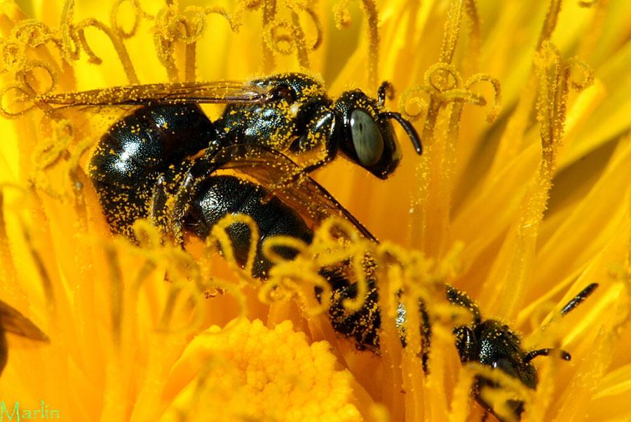 Small Carpenter Bee Ceratina Sp North American
