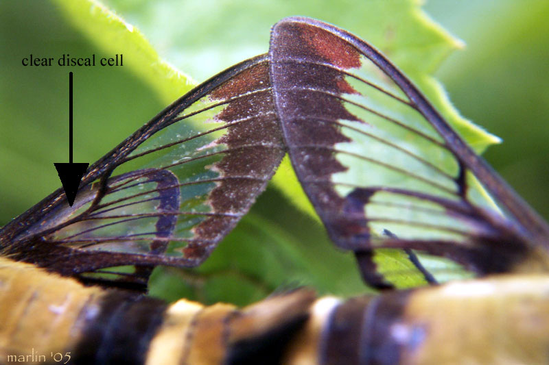Snowberry Clearwing Moth wings