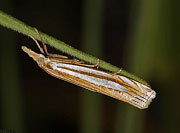 Eastern Grass-veneer Moth