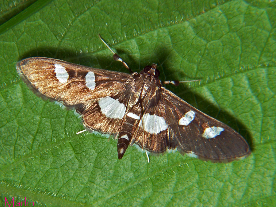 Grape Leaf Folder Moth - Desmia maculalis