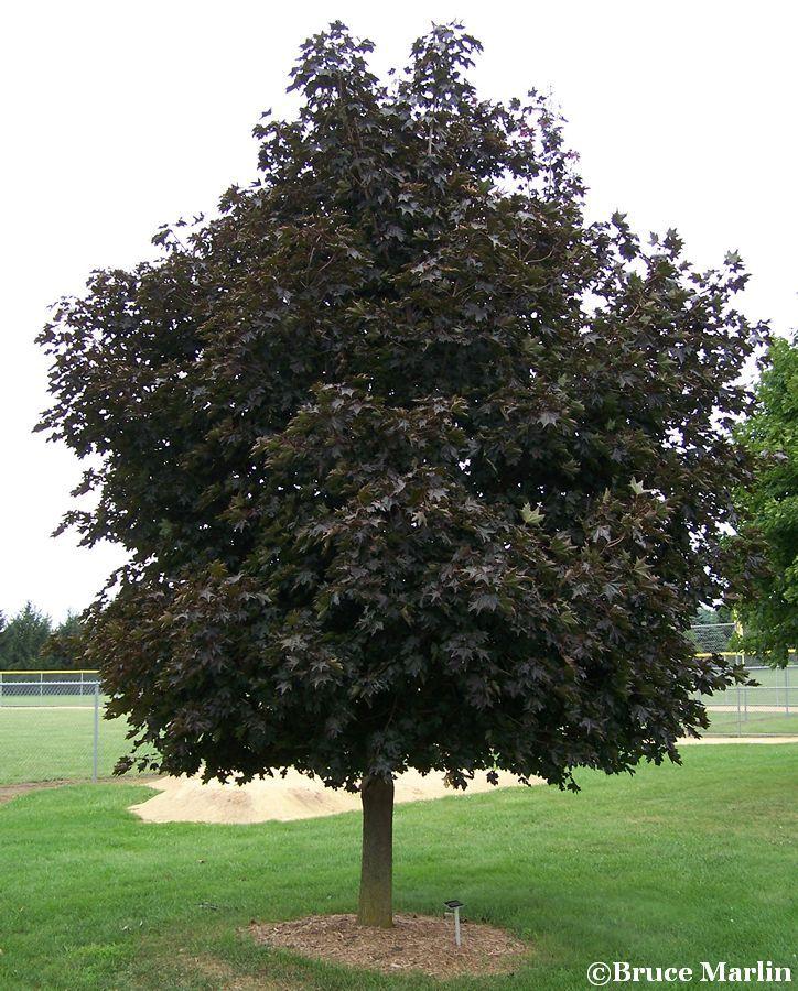Norway Maple Tree Acer Platanoides Crimson King North