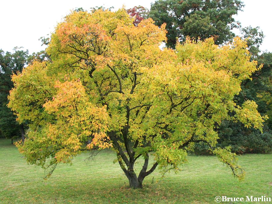 Durand Dwarf Amur Maple Acer Ginnala North American Insects Spiders