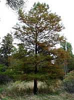 Baldcypress - Taxodium distichum