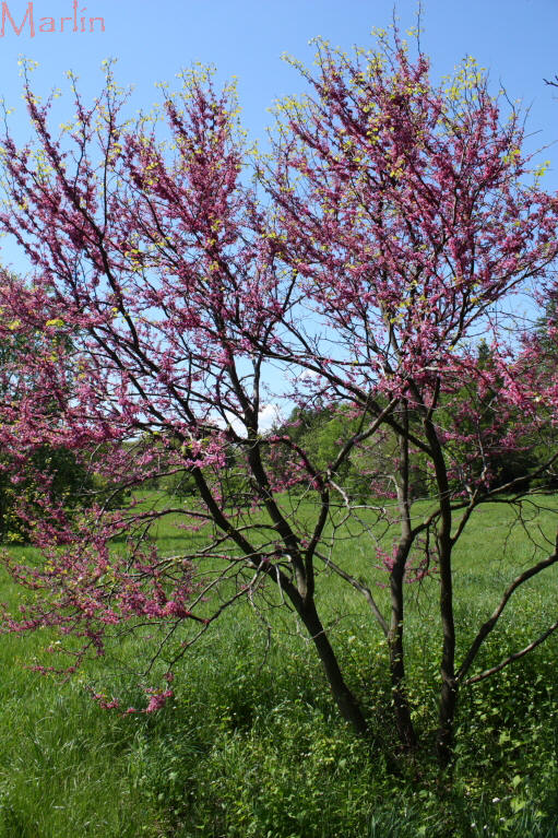 Texas Redbud Cercis Canadensis Texensis North American