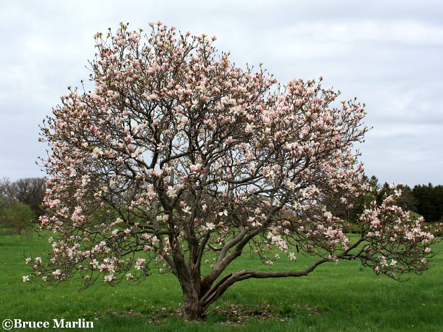 Lilliputian Saucer Magnolia Magnolia X Soulangiana Lilliputian