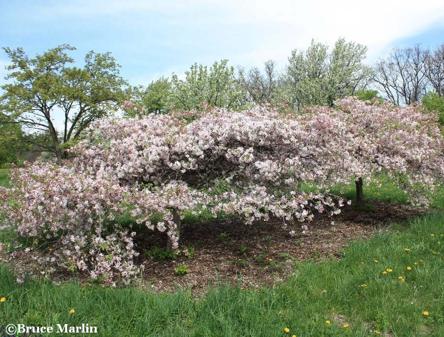 Louisa Crabapple Habit