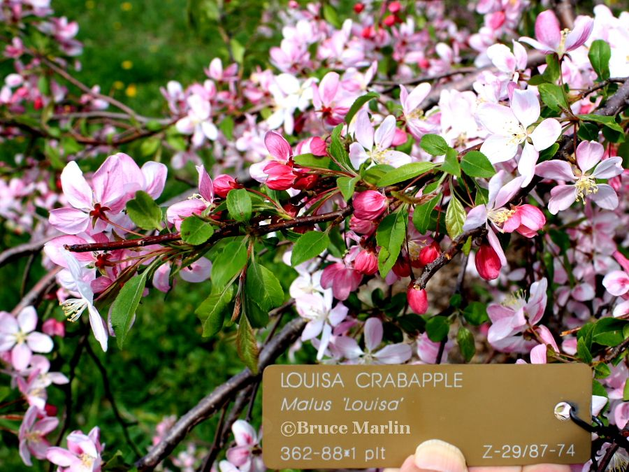 Louisa Crabapple blossoms