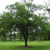 Large-fruited Elm - Ulmus macrocarpa