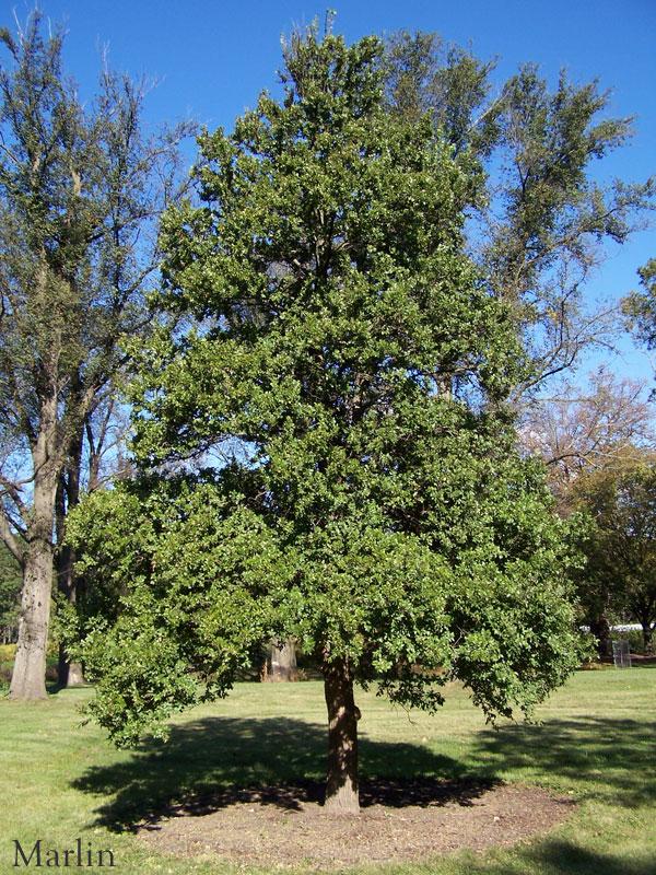 Cedar Elm Ulmus Crassifolia North American Insects