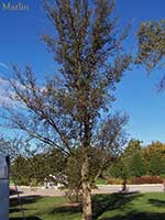Greuneveld Holland Elm - Ulmus x hollandica