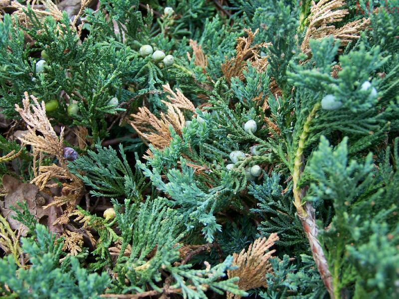 Blue Rug Juniper Juniperus Horizontalis North American