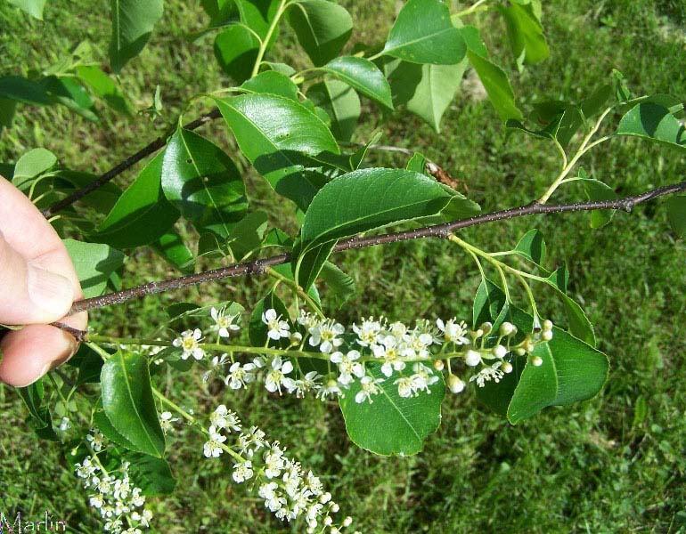 Black Cherry - Prunus ... What Prunus Serotina Bark Look Like