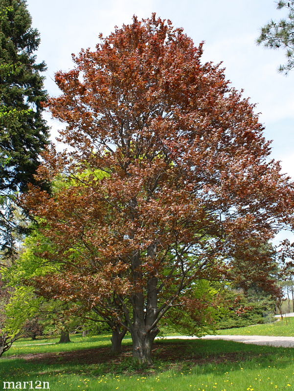 Copper Beech Fagus Sylvatica Atropunicea North