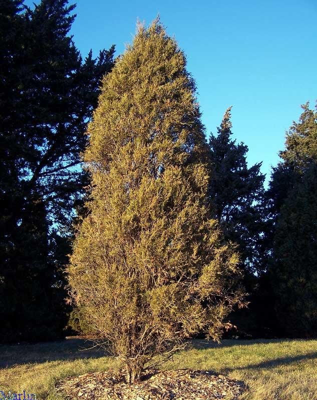 Rocky Mountain Juniper Juniperus Scopulorum North American Insects Spiders