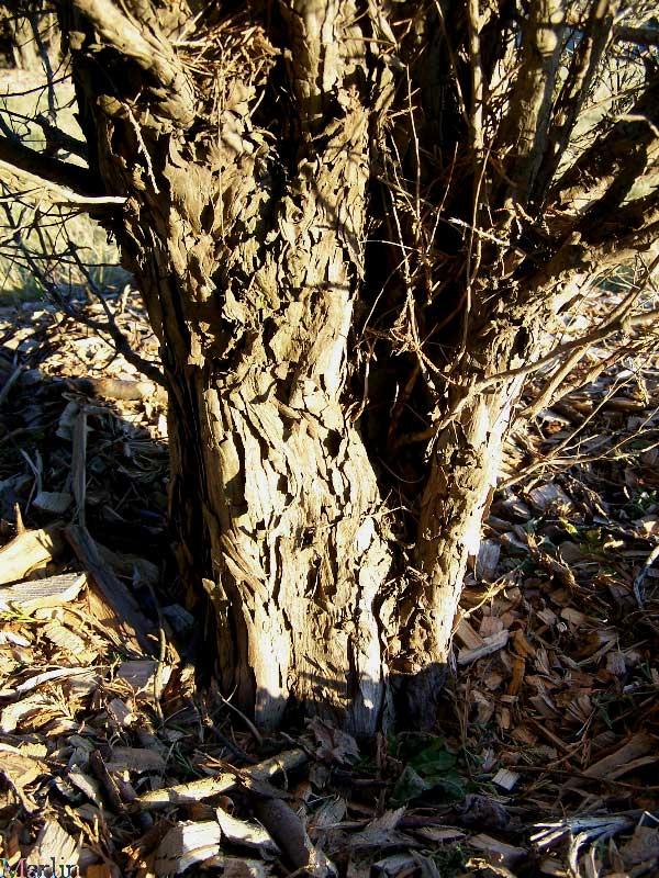 Rocky Mountain Juniper Juniperus Scopulorum North