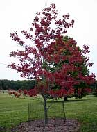 Schlesinger Red Maple - Acer rubrum 'Schlesinger'