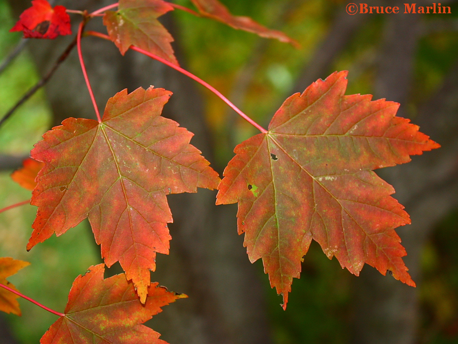 Typical Maple Leaves