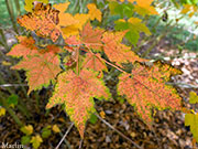 Hairy-veined Maple - Acer barbinerve