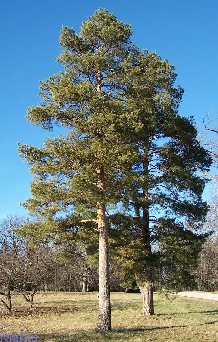 Scots Pine Christmas Tree