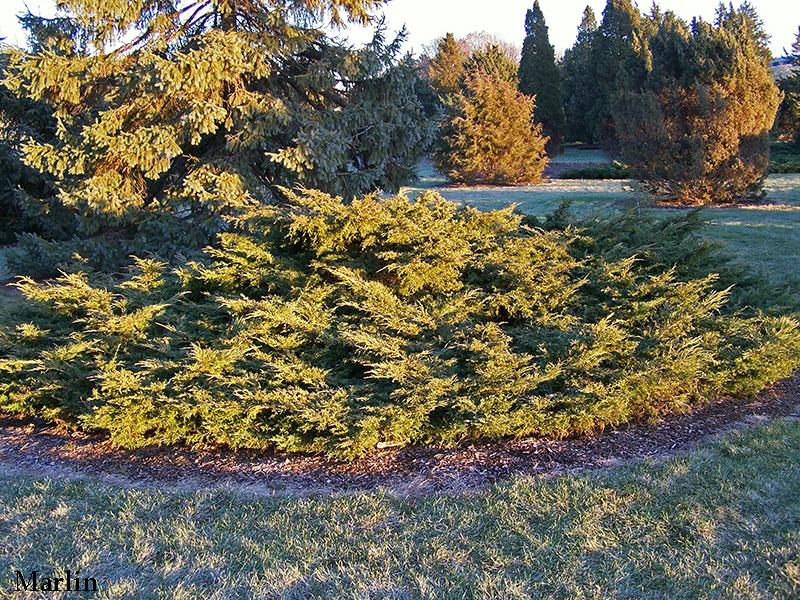 Golden Pfitzer Juniper Juniperus Chinensis Pfitzeriana