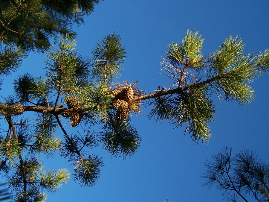 Table Mountain Pine Pinus Pungens North American Insects Spiders