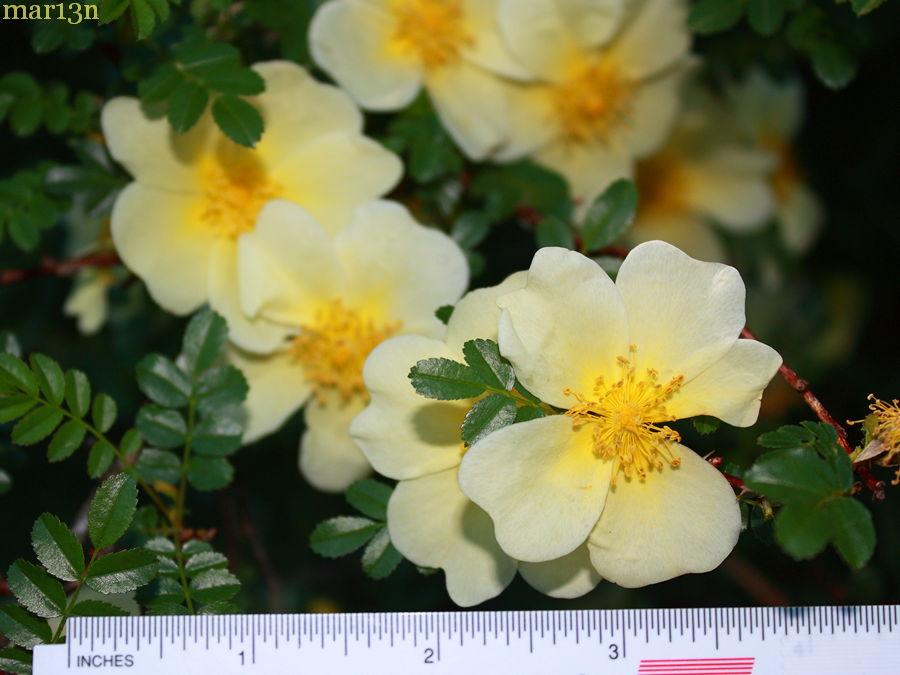 primrose rose rosa primula north american insects