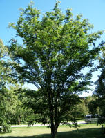 Village Green Zelkova