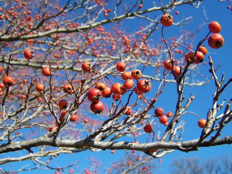 Green Hawthorn Crataegus Viridis Winter King North