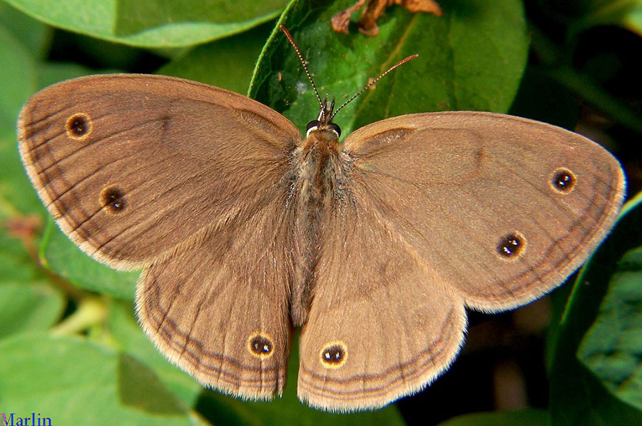 Little Wood Satyr Butterfly Dorsal