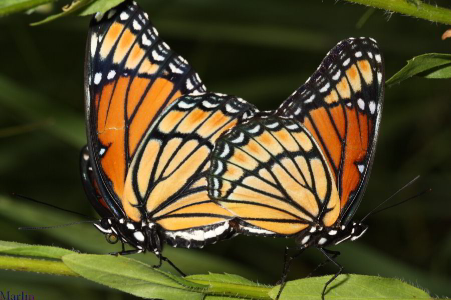 Viceroy Butterflies mating