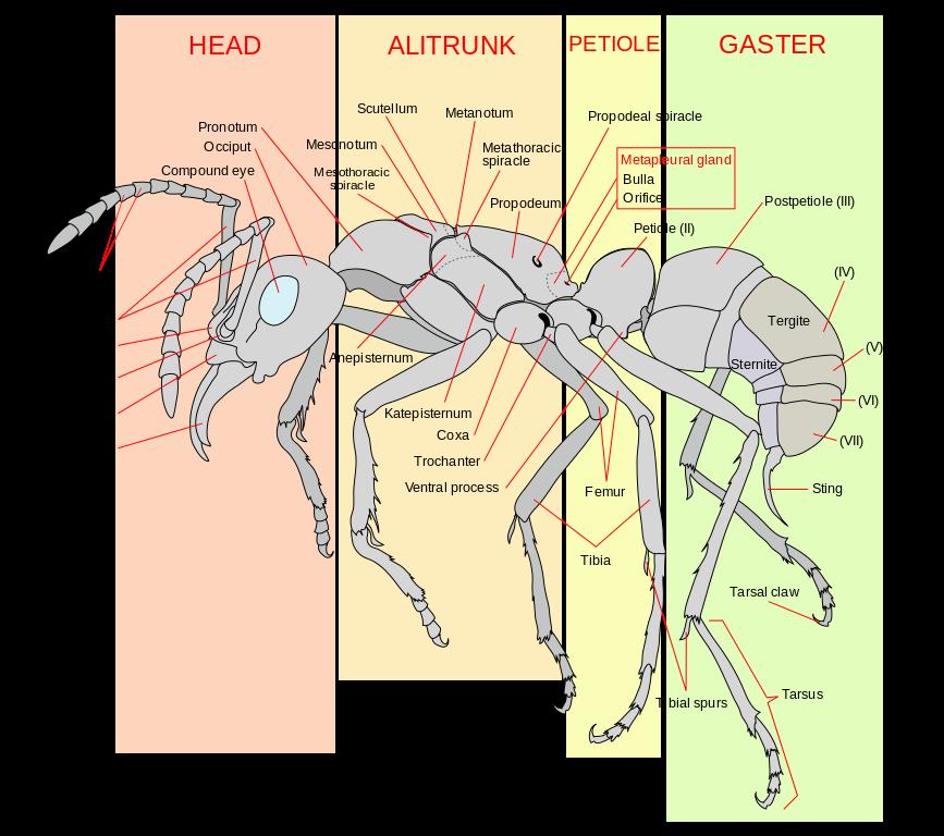 Ant Anatomy