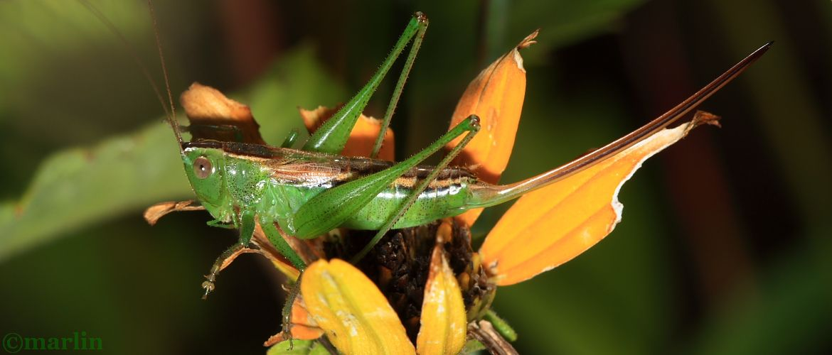 Straight-lanced Meadow Katydid - Conocephalus strictus