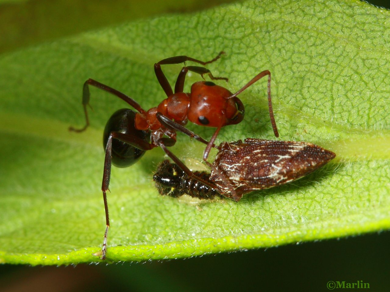 Allegheny mound ant and hoppers (adult & nymph)