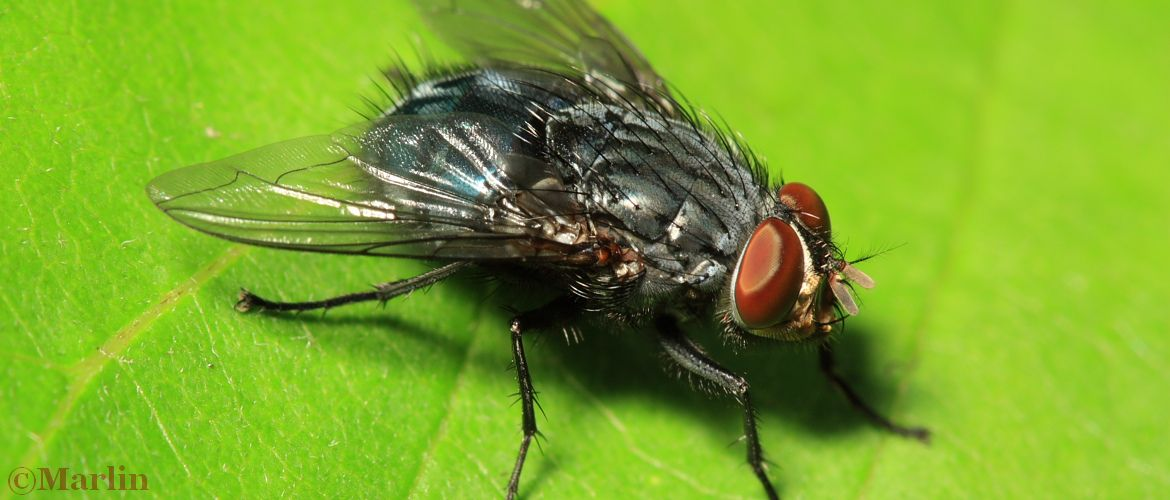 Bottle Fly, Calliphora vicina