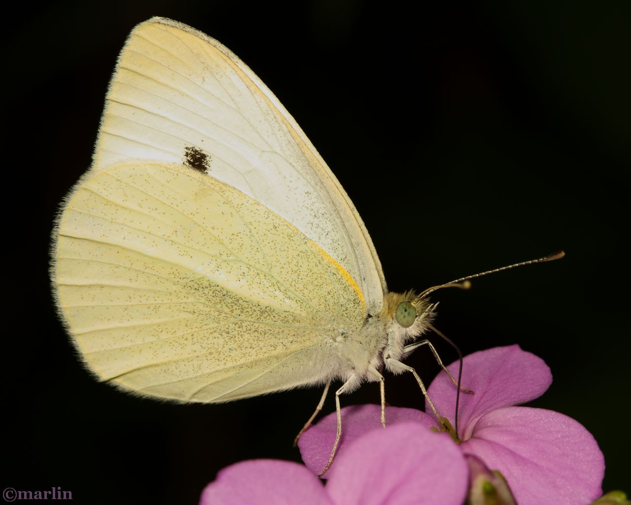 Cabbage White Butterfly - Pieris rapae