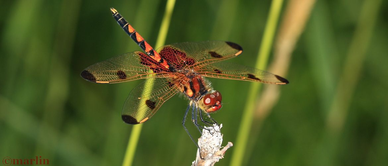 Calico Pennant Dragonfly - Celithemis elisa