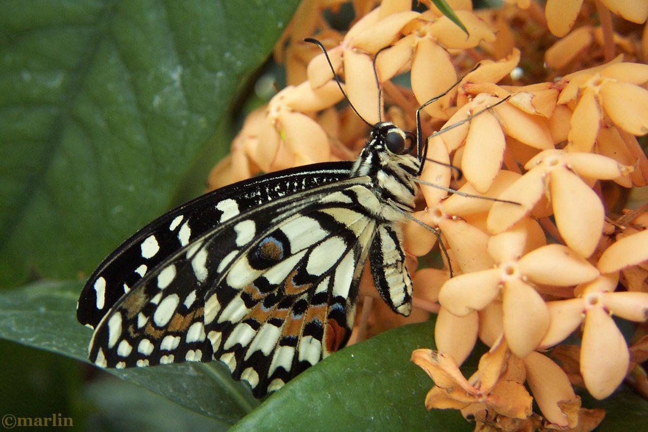 Checkered Swallowtail