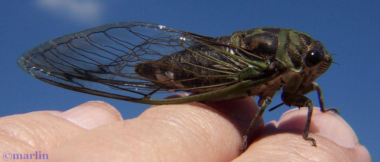 Periodic cicada - Tibicen linnei