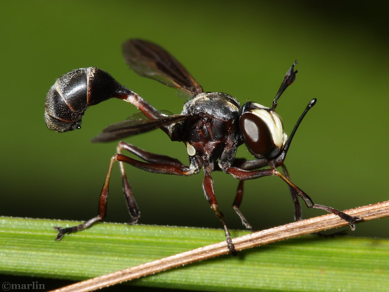 Conopid Fly P. tibialis