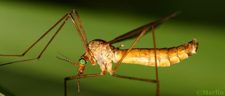 Crane Fly, Tipula bicornis