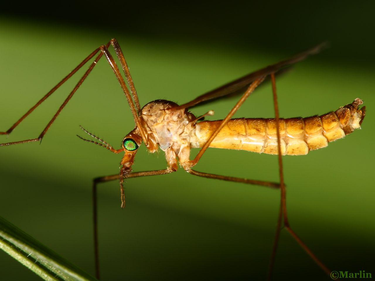 Infraorder Tipulomorpha: Crane Fly, Tipula bicornis