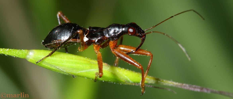 Damsel Bug - Nabis subcoleoptratus