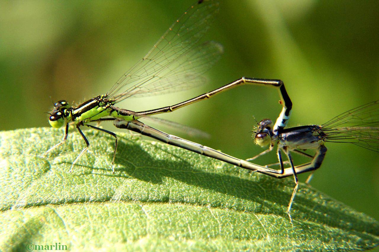 Eastern Forktail Damselfly mating wheel