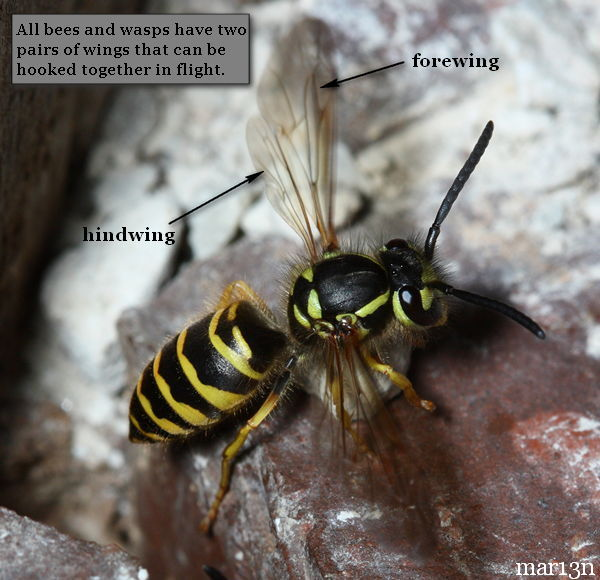 Bees and wasps have four wings