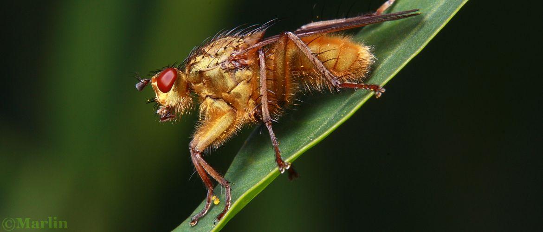 Dung Fly, Scathophaga stercoraria