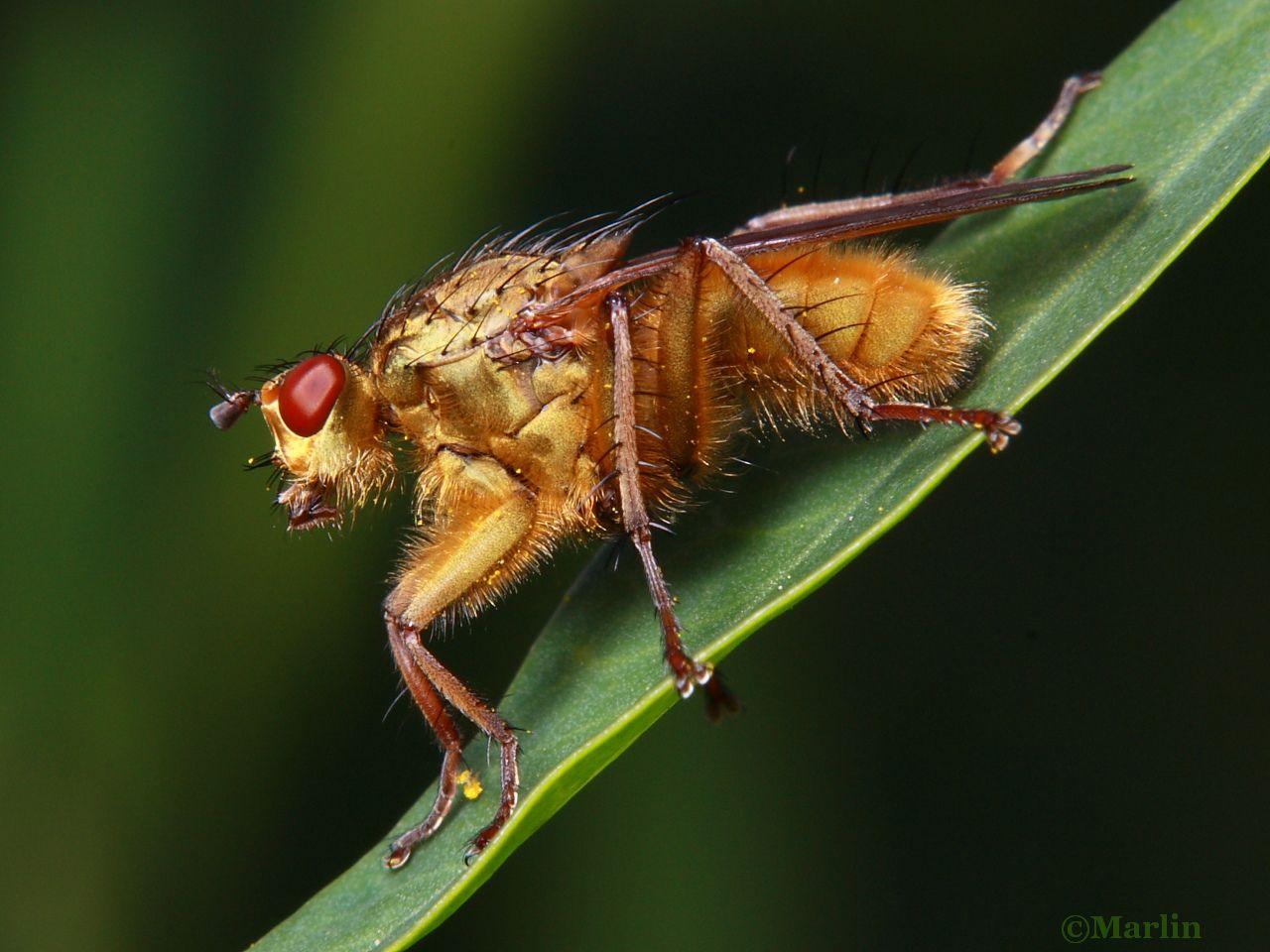 Golden Dung Fly, Scathophaga stercoraria
