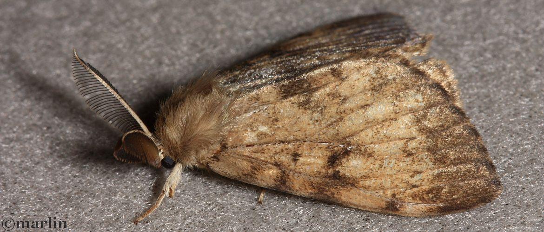 Gypsy Moth - Lymantria dispar