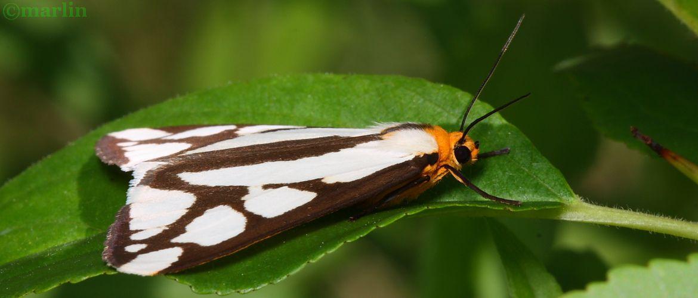 Reversed Haploa Moth - Haploa reversa Hodges #8109