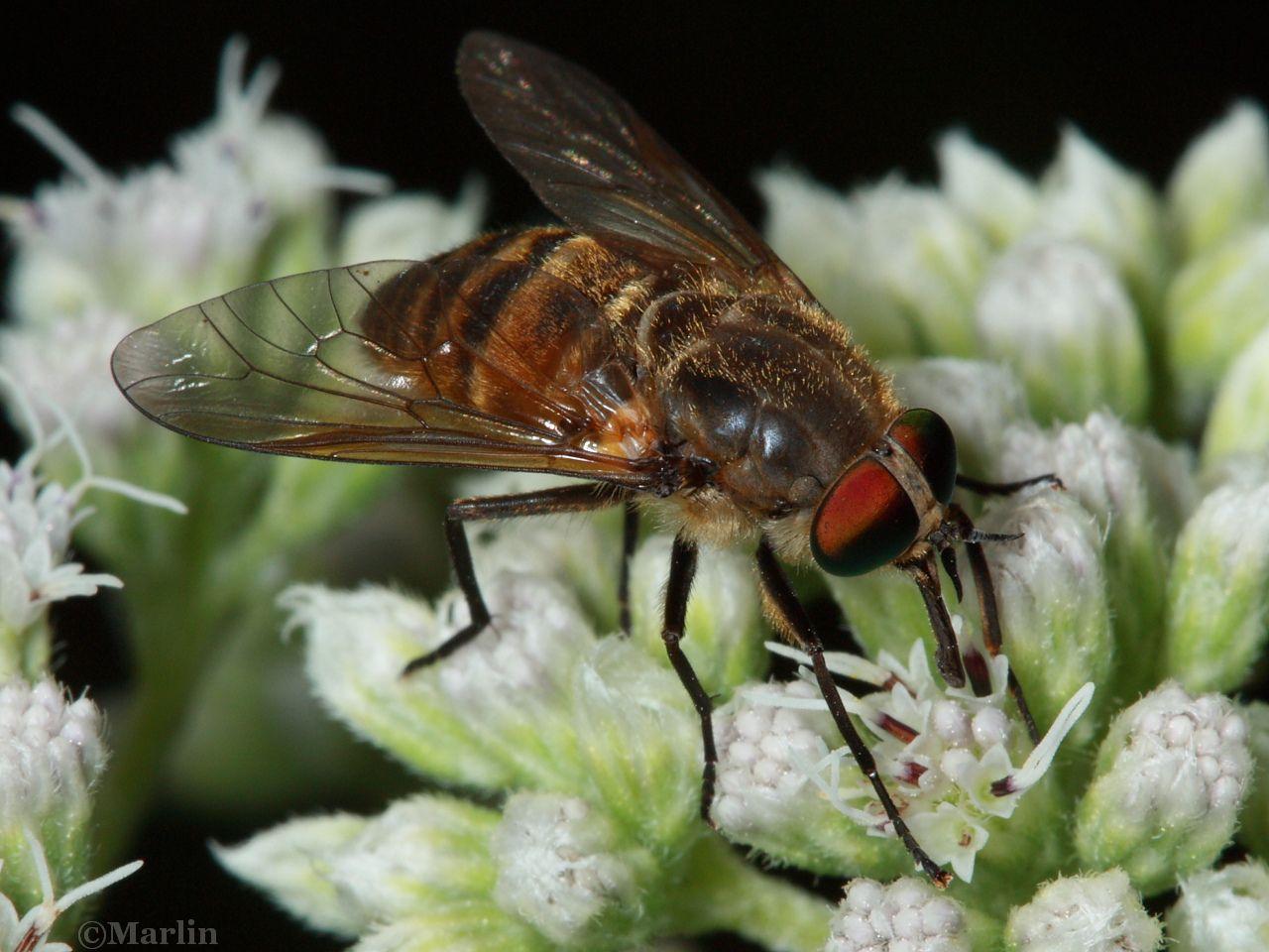 Horse Fly, Stonemyia tranquilla