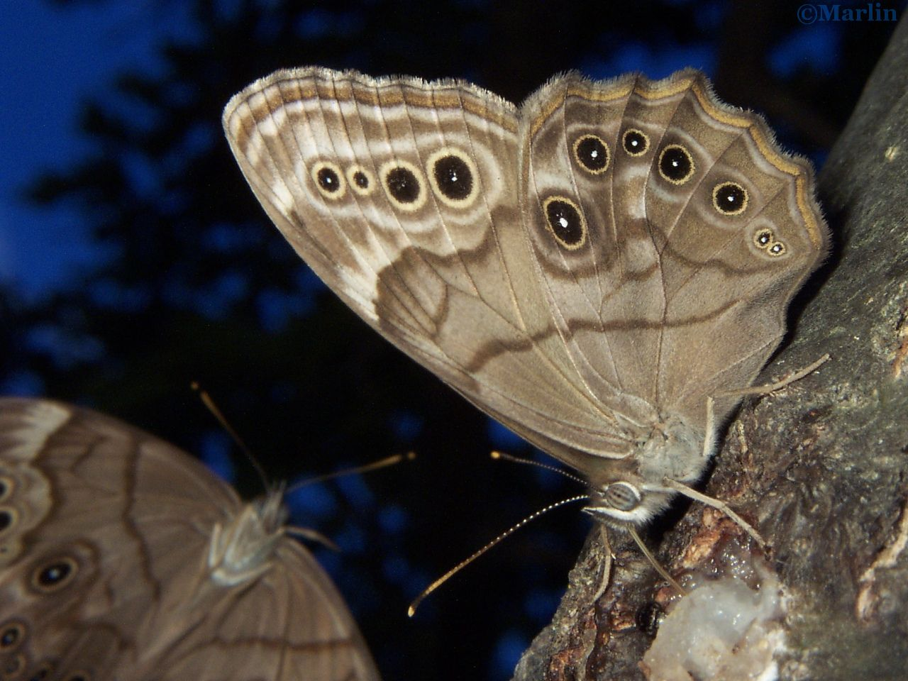 Northern Pearly Eye butterfly tree sap party